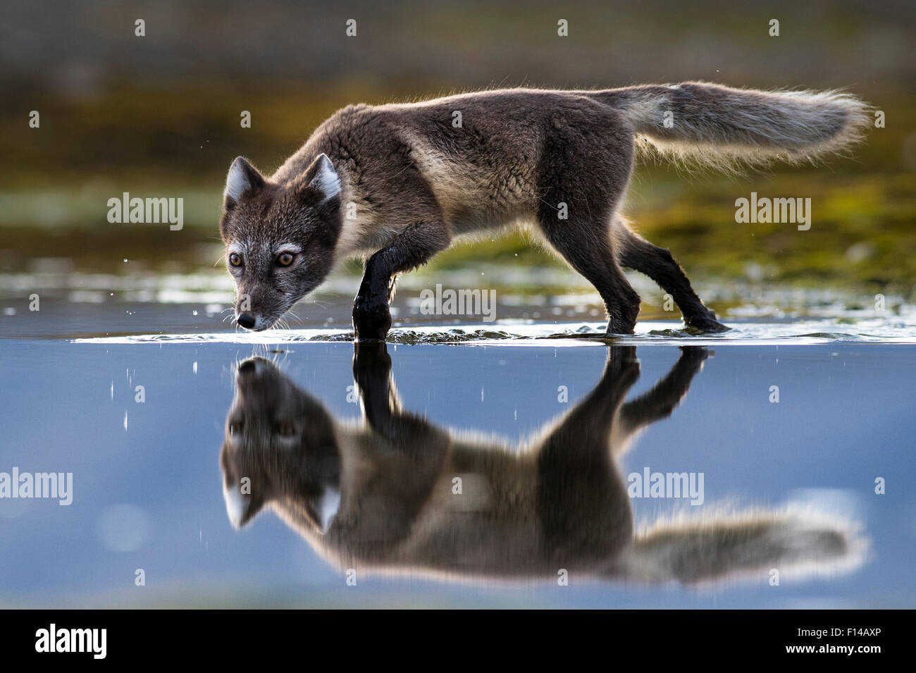 Arctic fox (Vulpes lagopus) searching for food in shallow water, Spitsbergen, Svalbard, Norway, July. - Stock Image