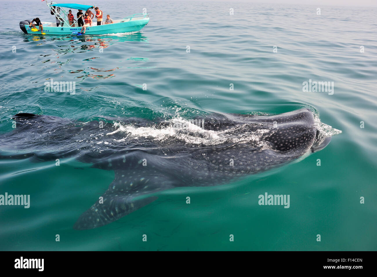 Whale shark (Rhincodon typus) mouth open feeding on plankton at the surface with tourists watching from boat, Yucatan - Stock Image