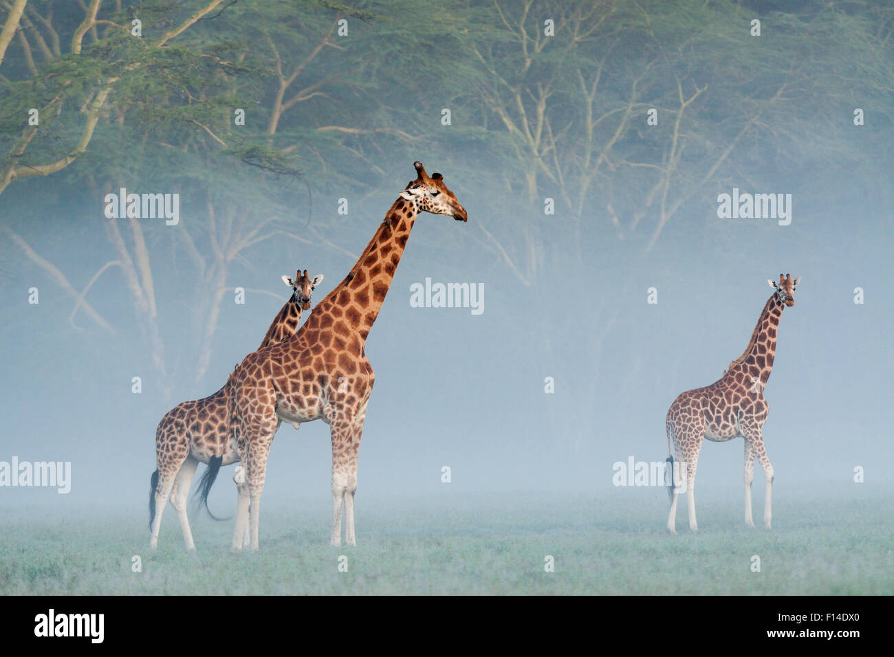Rothschild's giraffes (Giraffa camelopardalis rothschildi) in the mist at dawn, Nakuru National Park, Kenya. - Stock Image