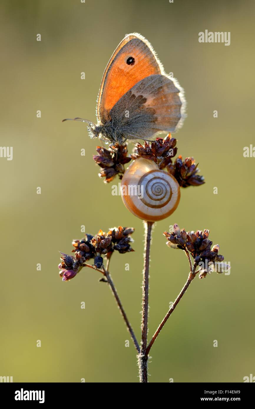 Small heath butterfly (Coenonympha pamphilus) and snail, Ottange, Lorraine, France. August. - Stock Image