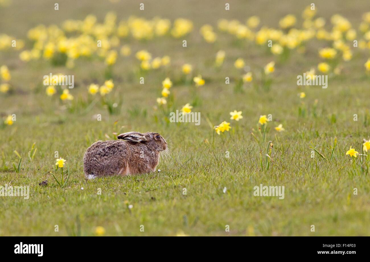 European hare (Lepus europaeus) resting in a meadow with jonquils, Germany Stock Photo