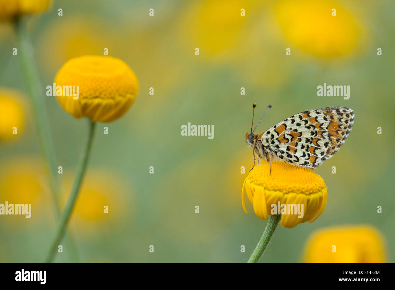 Lesser spotted fritillary (Melitaea trivia) adult at rest on yellow flower, Bulgaria. - Stock Image