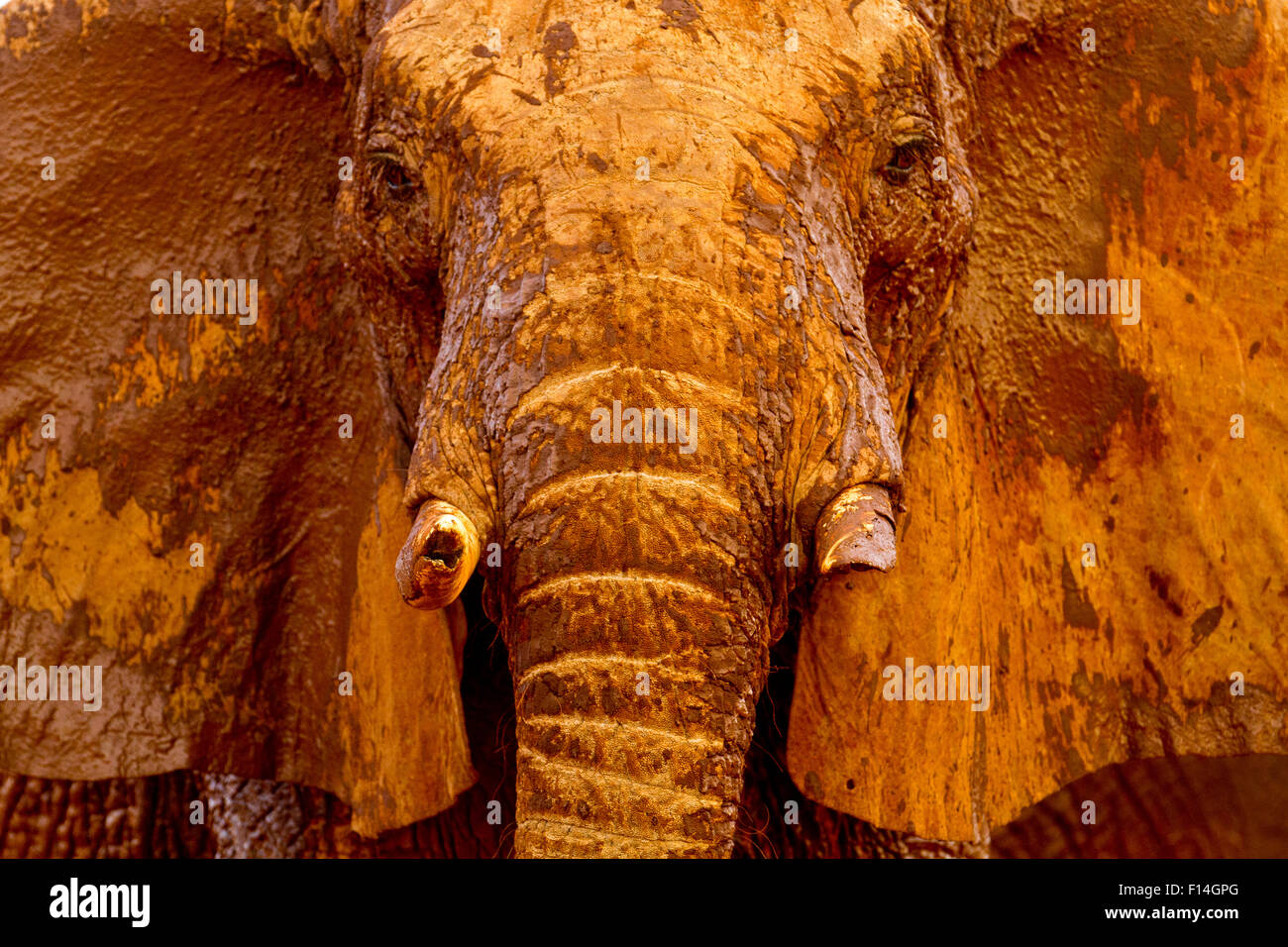 African elephant (Loxodonta africana) male covered with mud at a water hole, Tsavo East National Park, Kenya. August. - Stock Image