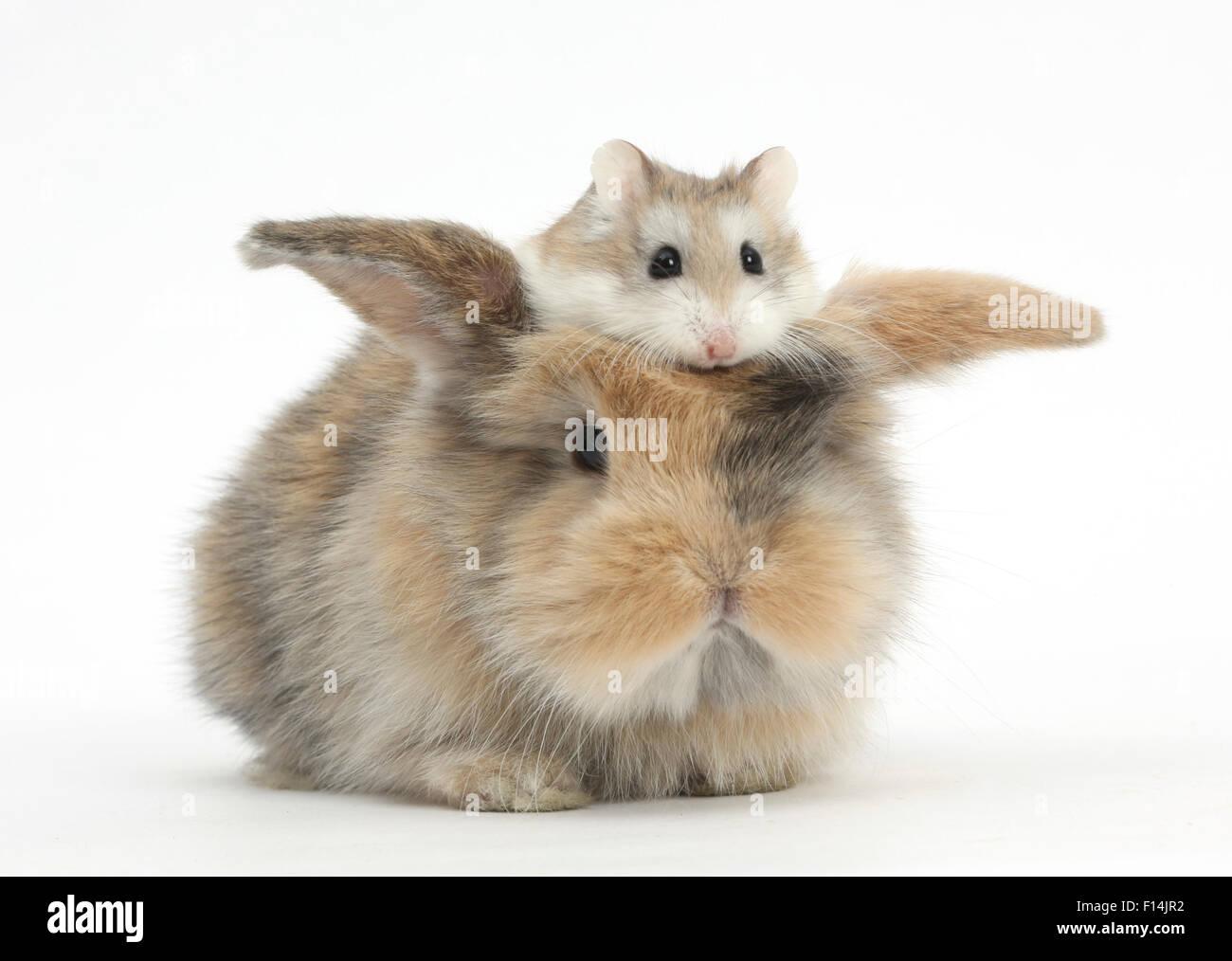 Baby rabbit with a Roborovski Hamster (Phodopus roborovskii) sitting on its head. - Stock Image
