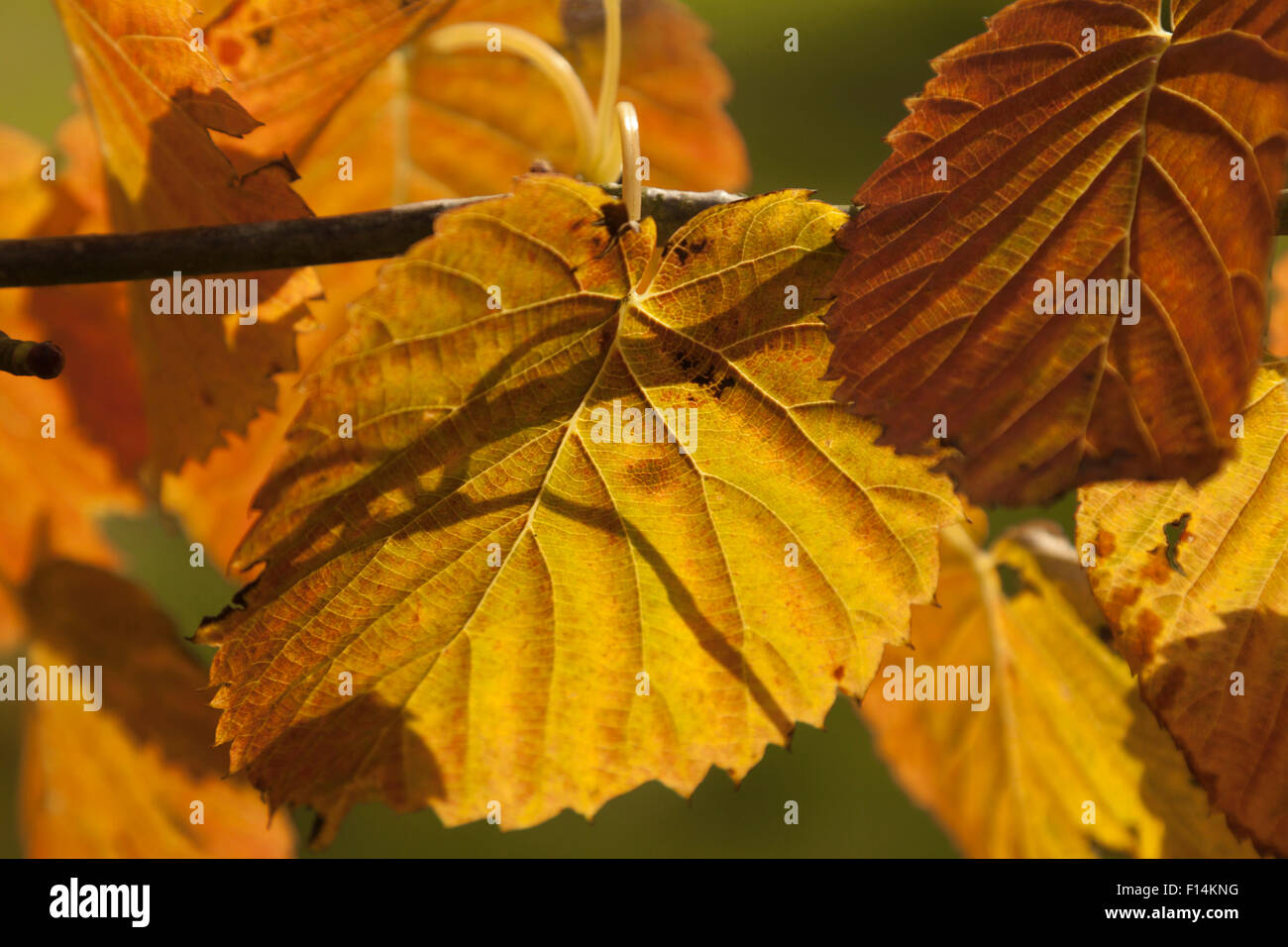 Sunlight on golden beech leaves in fall colors, in the parkland of of Hergest Croft Gardens, Kington, Herefordshire, - Stock Image