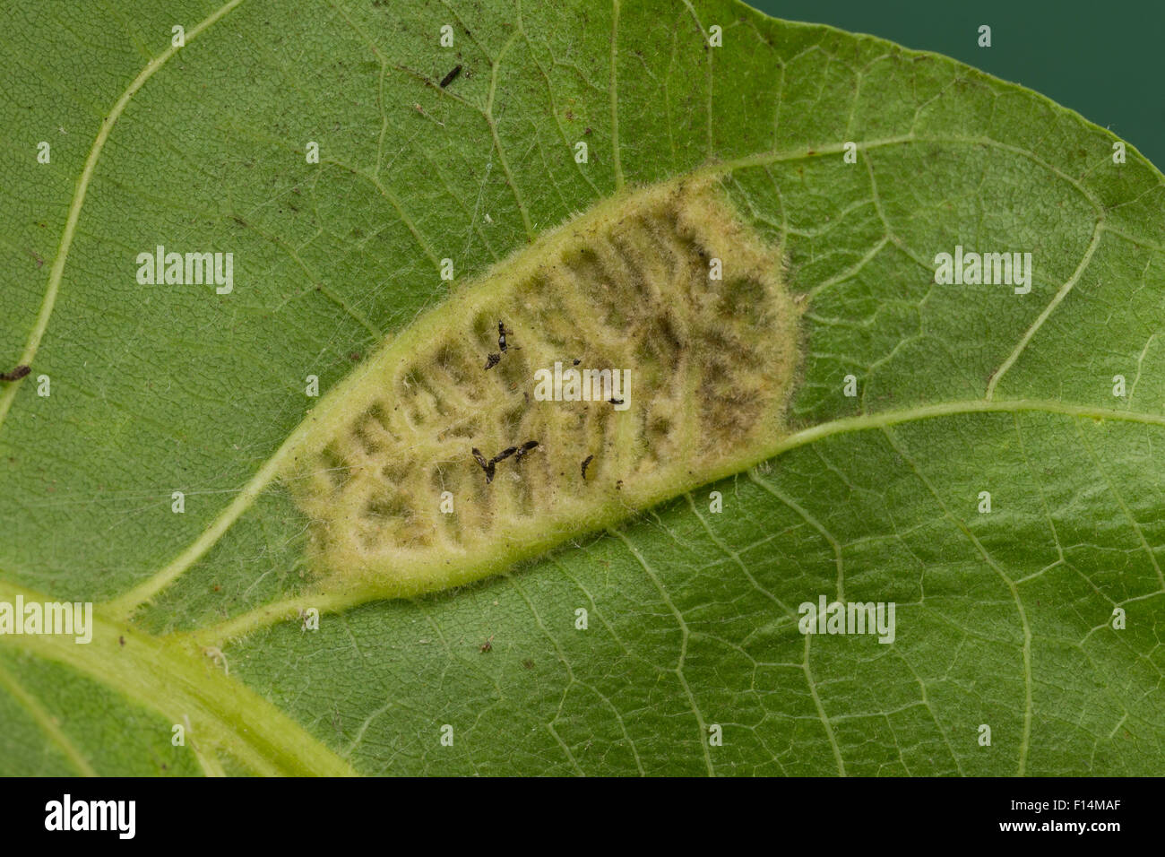 Walnut Erineum Mite, Walnut Leaf Gall Mite, walnut blister mite, Walnuss-Gallmilbe, Walnuß, Filzgallmilbe, - Stock Image