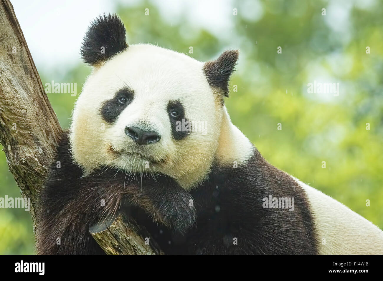 Portrait of a Giant panda bear during the rain in a forest after eating bamboo - Stock Image