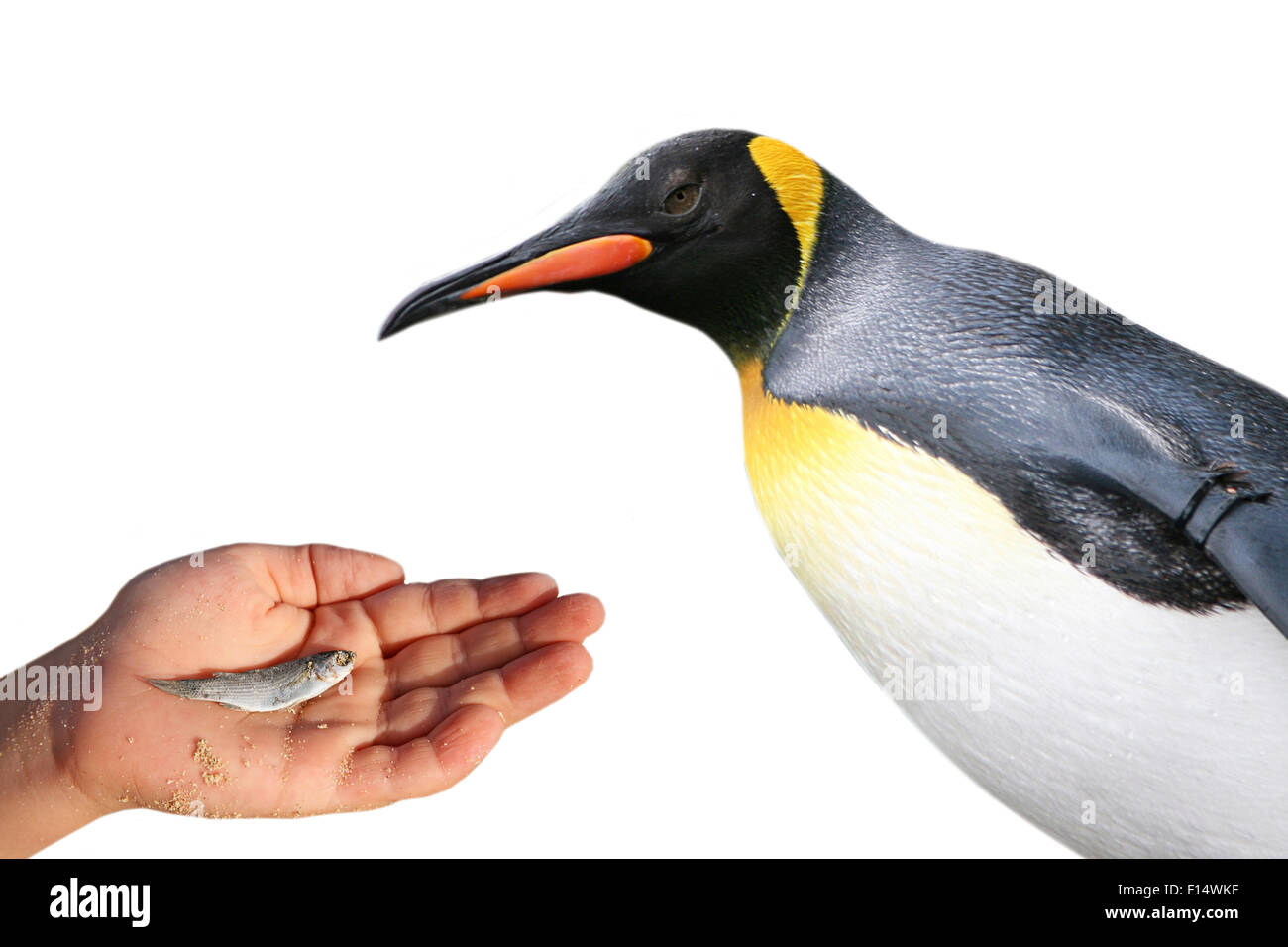 The Penguin is fed - Stock Image