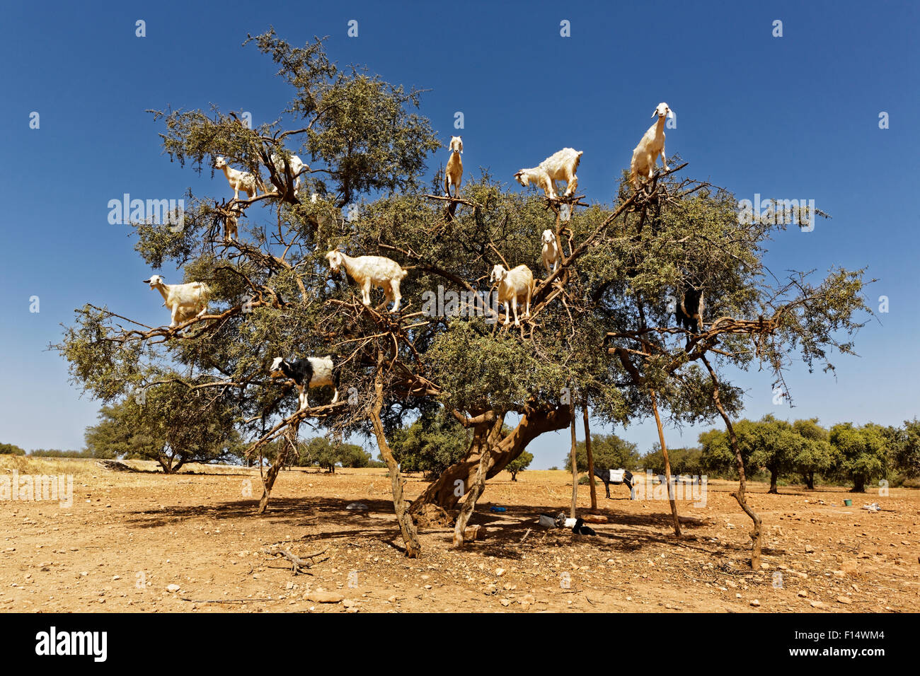 Argan trees and the goats on the way between Marrakesh and Essaouira in Morocco.Argan Oil is produced by using the - Stock Image
