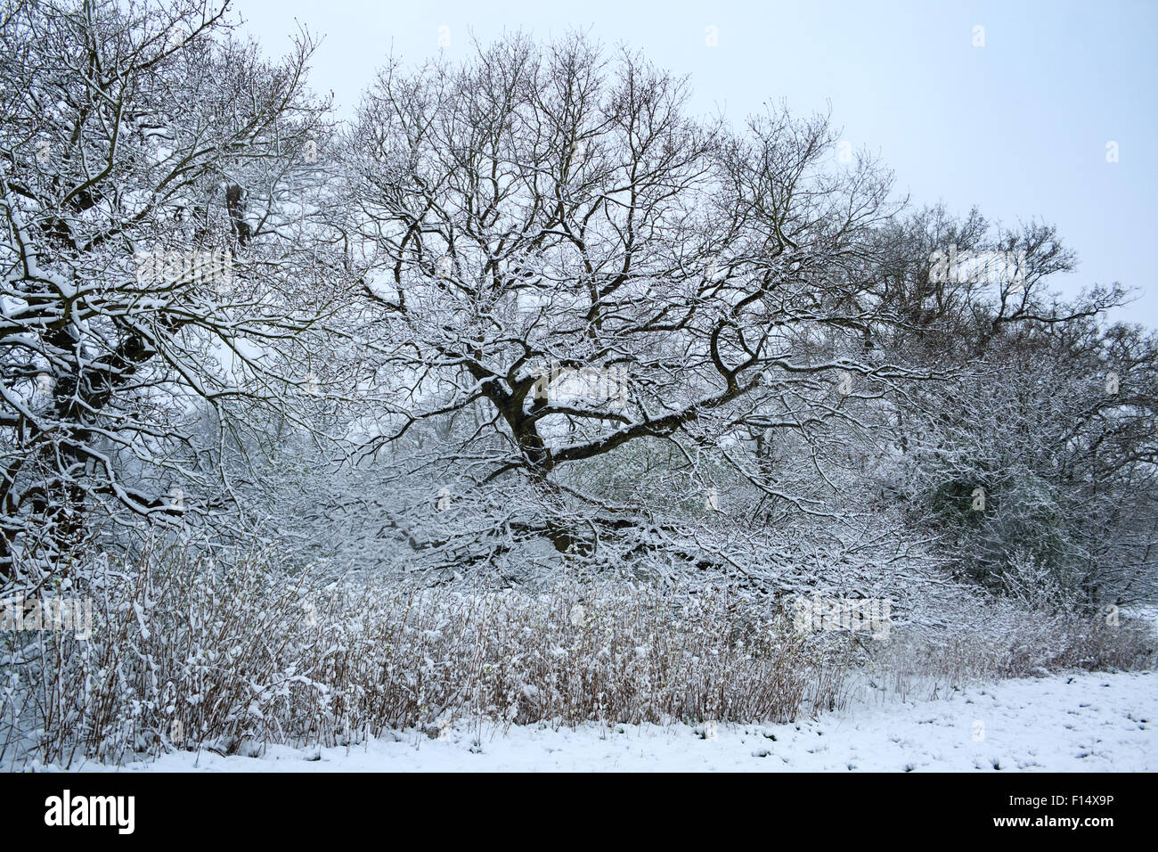 Snow-covered trees, hedges and grass at Manor Park in Caterham, Surrey, England following heavy snowfall Stock Photo