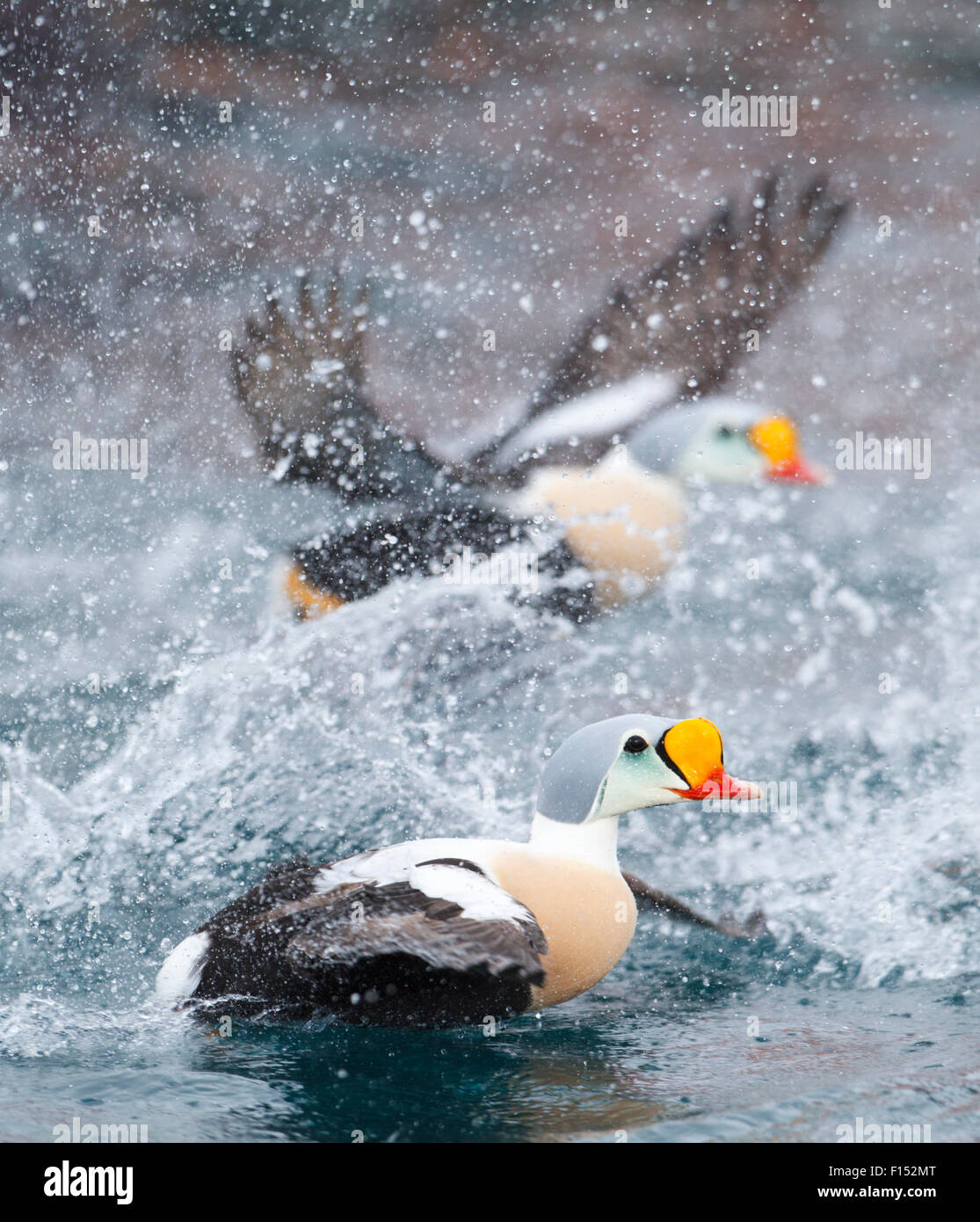 Male King eiders (Somateria spectabilis) on taking off from the waves and splashing water Batsfjord, Norway, March. - Stock Image