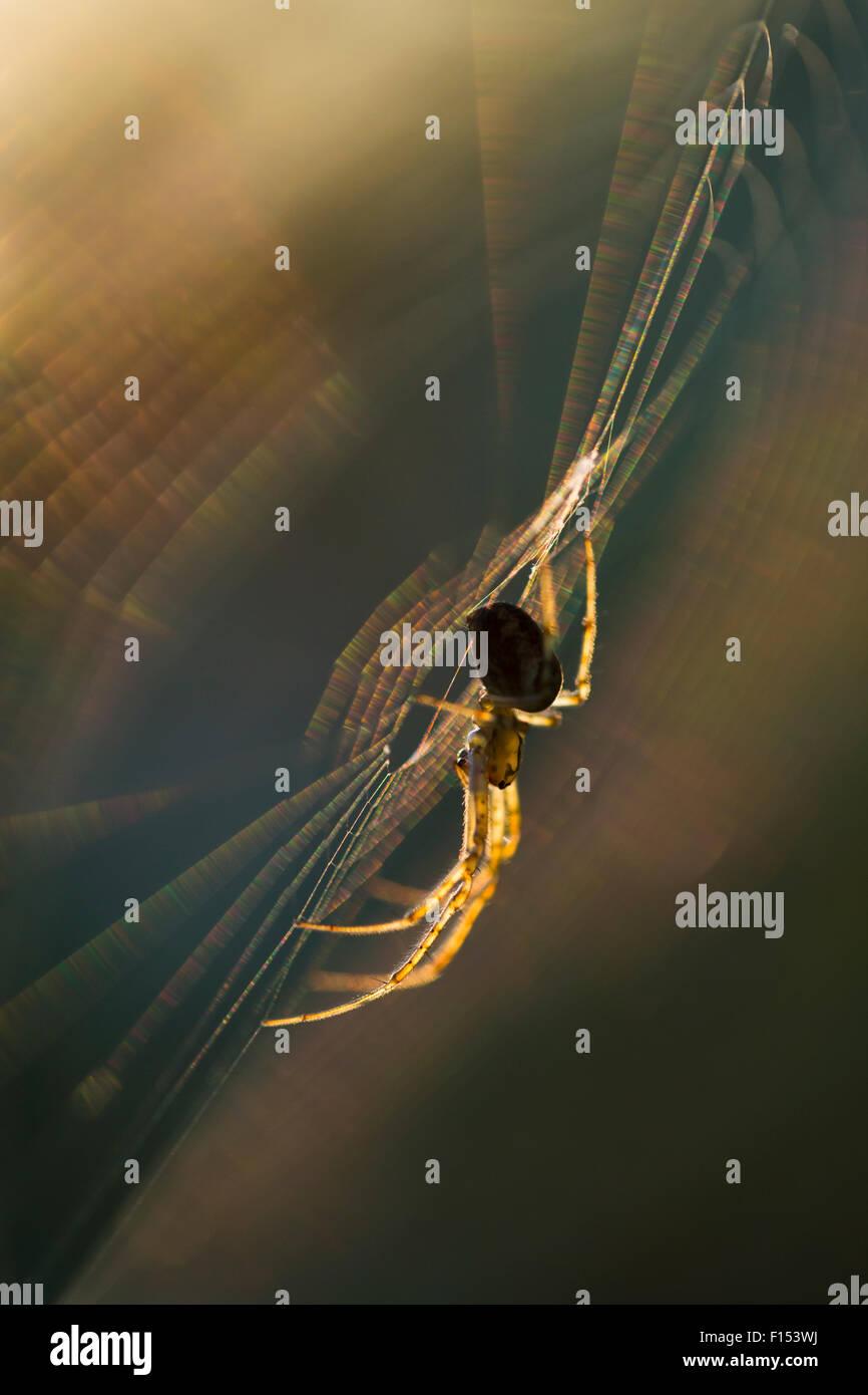 Long-jawed orbweaver (Metellina segmentata) in web at sunset. Dunwich Heath, Suffolk, UK, September. - Stock Image