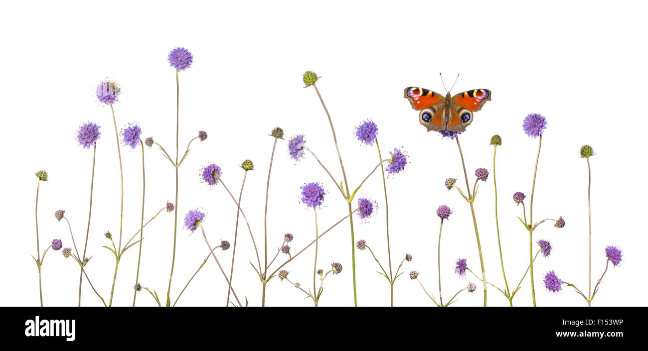 Devil's-bit scabious (Succisa pratensis) and Peacock butterfly (Inachis io) Peak District National Park, Derbyshire, - Stock Image