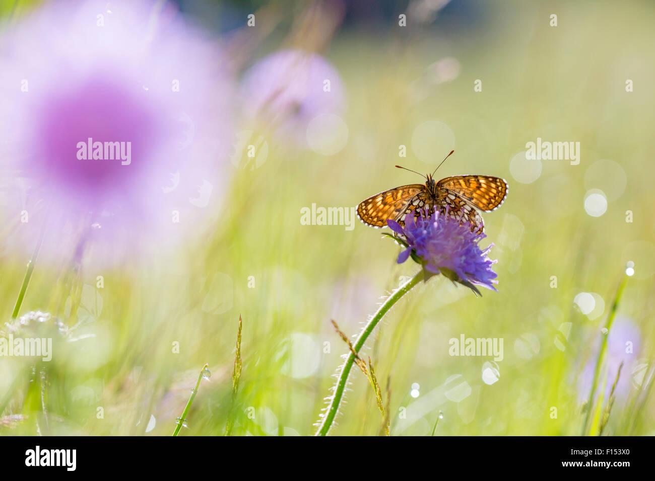 False heath fritillary (Melitaea diamina) Nordtirol, Austrian Alps, July. - Stock Image