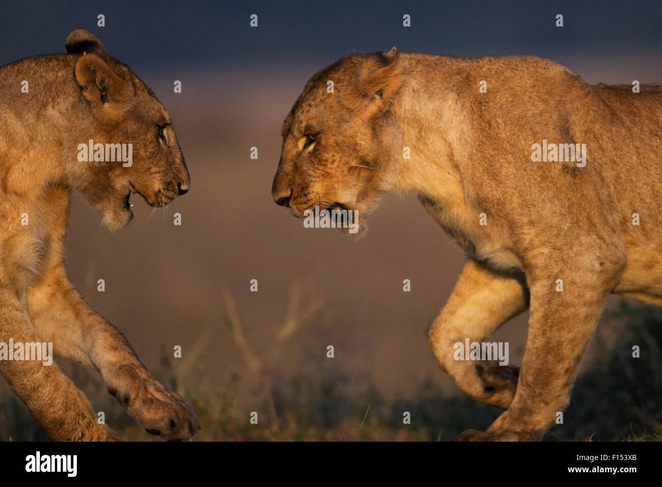 Lion (Panthera leo) juveniles playing. Maasai Mara National Reserve, Kenya. - Stock Image