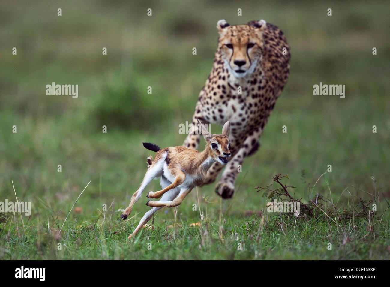 Cheetah (Acinonyx jubatus) cub aged around  one year about to bring down a Thomson's gazelle fawn (Eudorcas - Stock Image