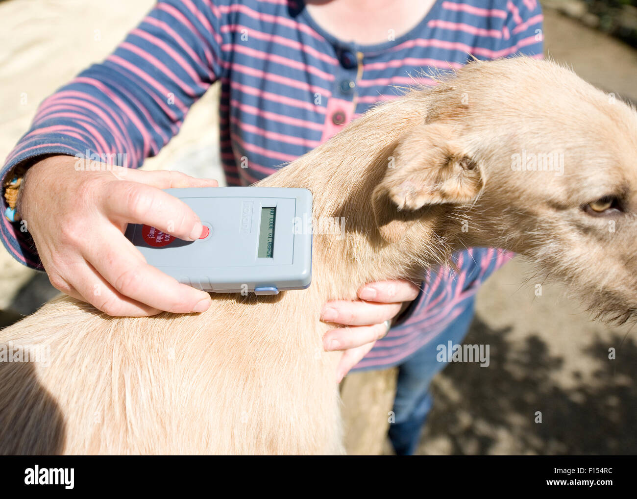 scanning your dog for a microchip - Stock Image