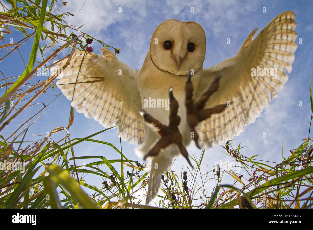 Barn Owl (Tyto alba) hunting/hovering, Somerset, UK, trained bird. - Stock Image