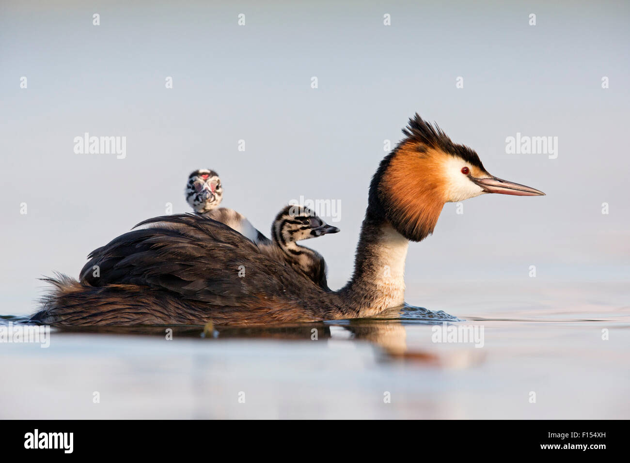 Great crested grebe (Podiceps cristatus) close-up of an adult with two young chicks. The Netherlands. June 2014 - Stock Image