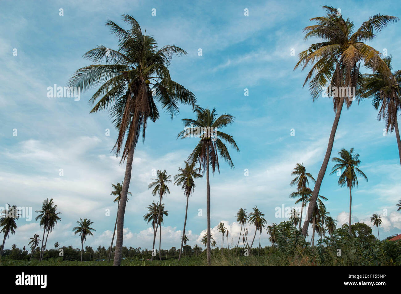 Looking At the Coconut Trees - Stock Image