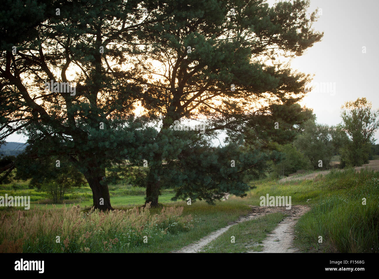 two pines and sunset on meadow - Stock Image