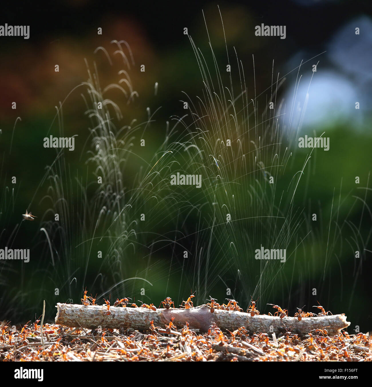 Wood ants (Formica rufa) jetting formic acid to protect their nest. Surrey, England, June. Digital Composite. - Stock Image