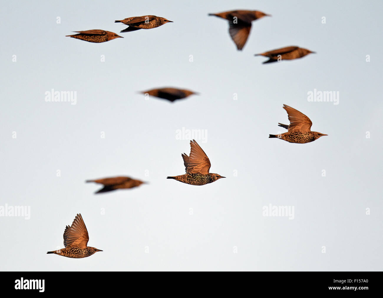 Common Starling (Sturnus vulgaris) flock in flight, Falsterbo, Sweden, October - Stock Image