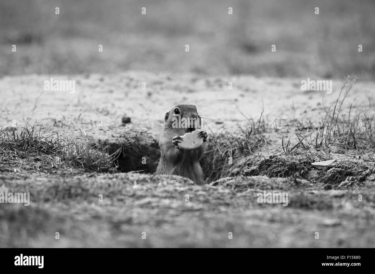 European Ground Squirrel ( Spermophilus citellus ) - Stock Image
