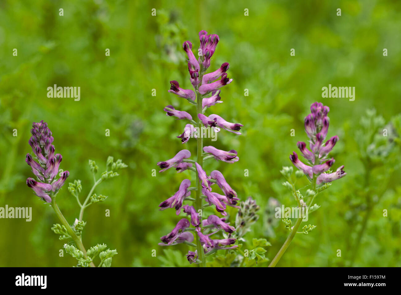 Common fumitory / earth smoke (Fumaria officinalis) in flower - Stock Image