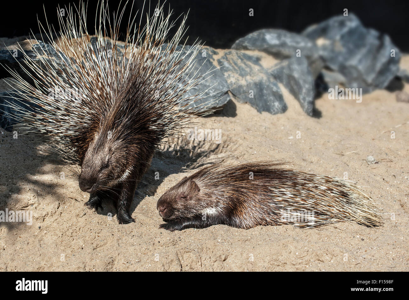 Two Indian Crested Porcupines / Indian Porcupine (Hystrix indica), native to southern Asia and the Middle East - Stock Image