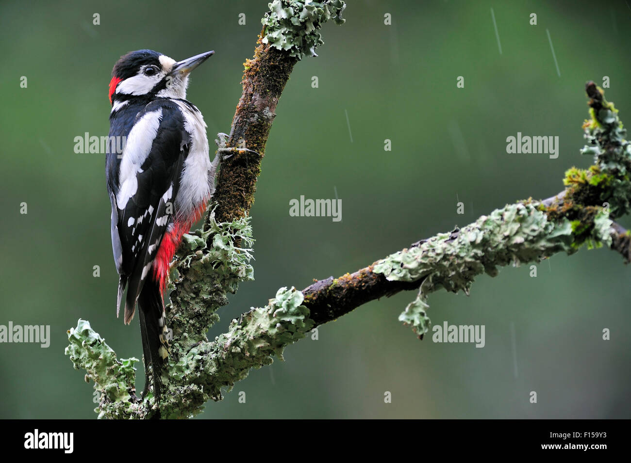 Great Spotted Woodpecker / Greater Spotted Woodpecker (Dendrocopos major) male perched on branch covered in lichen Stock Photo