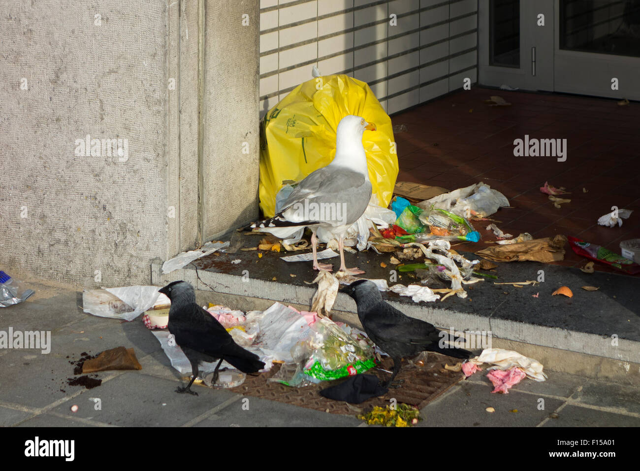 Bird pests like jackdaws and herring gulls tearing up rubbish bag and feeding on household refuse and garbage in - Stock Image