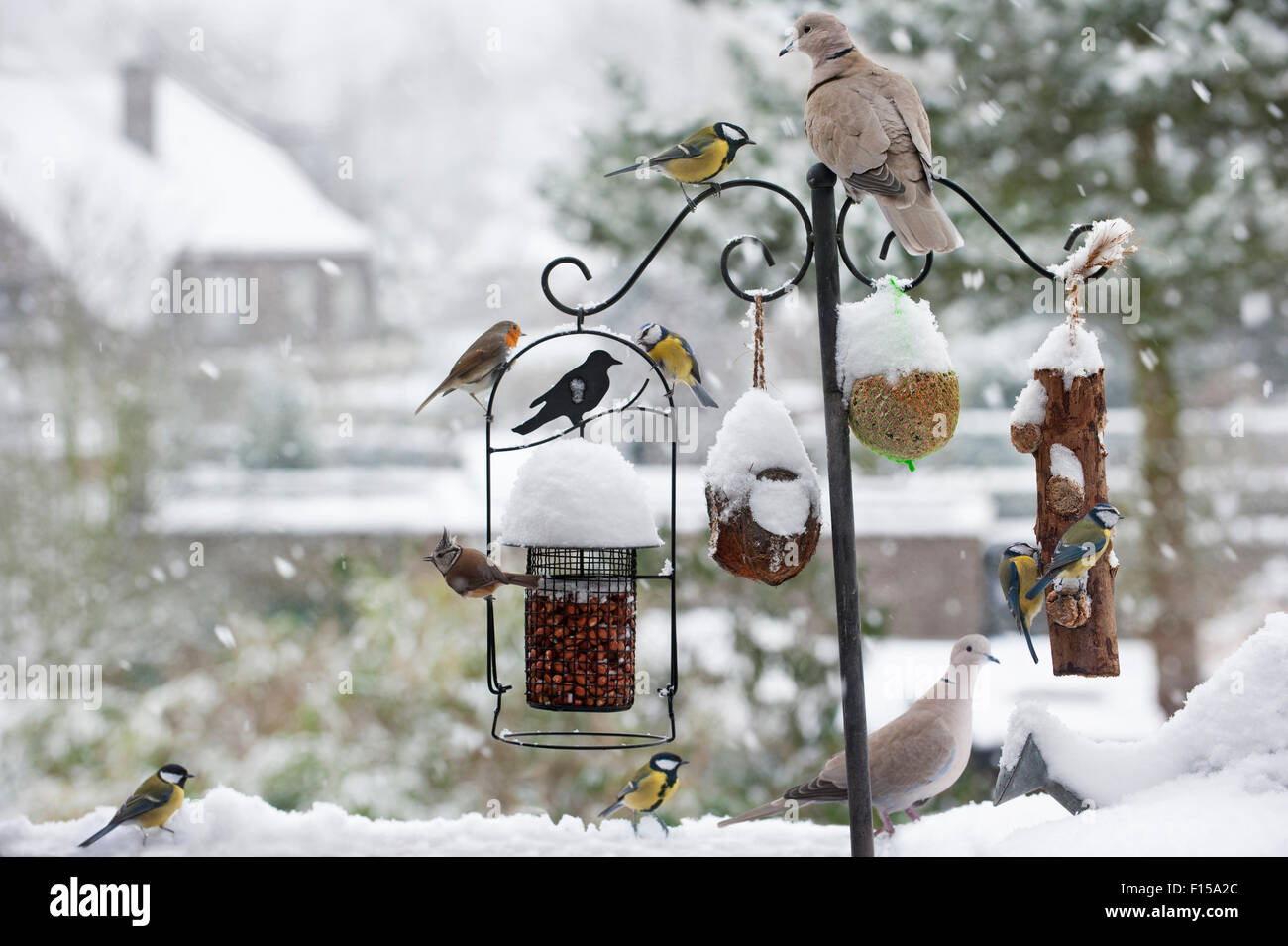 Songbirds feeding on nuts, seed and fat from garden bird feeder in the snow in winter in town Stock Photo
