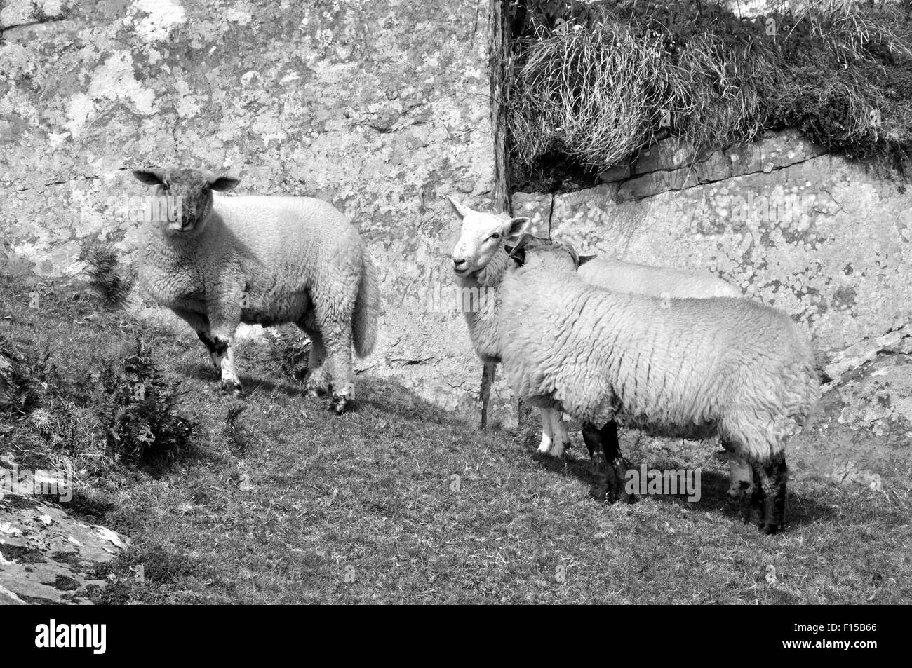 Sheep in rocky landscape,West Cork,Ireland (black and white) - Stock Image