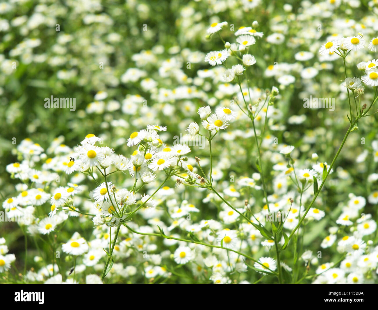 Large Field Overgrown With Small White Daisy Flowers In Green Grass