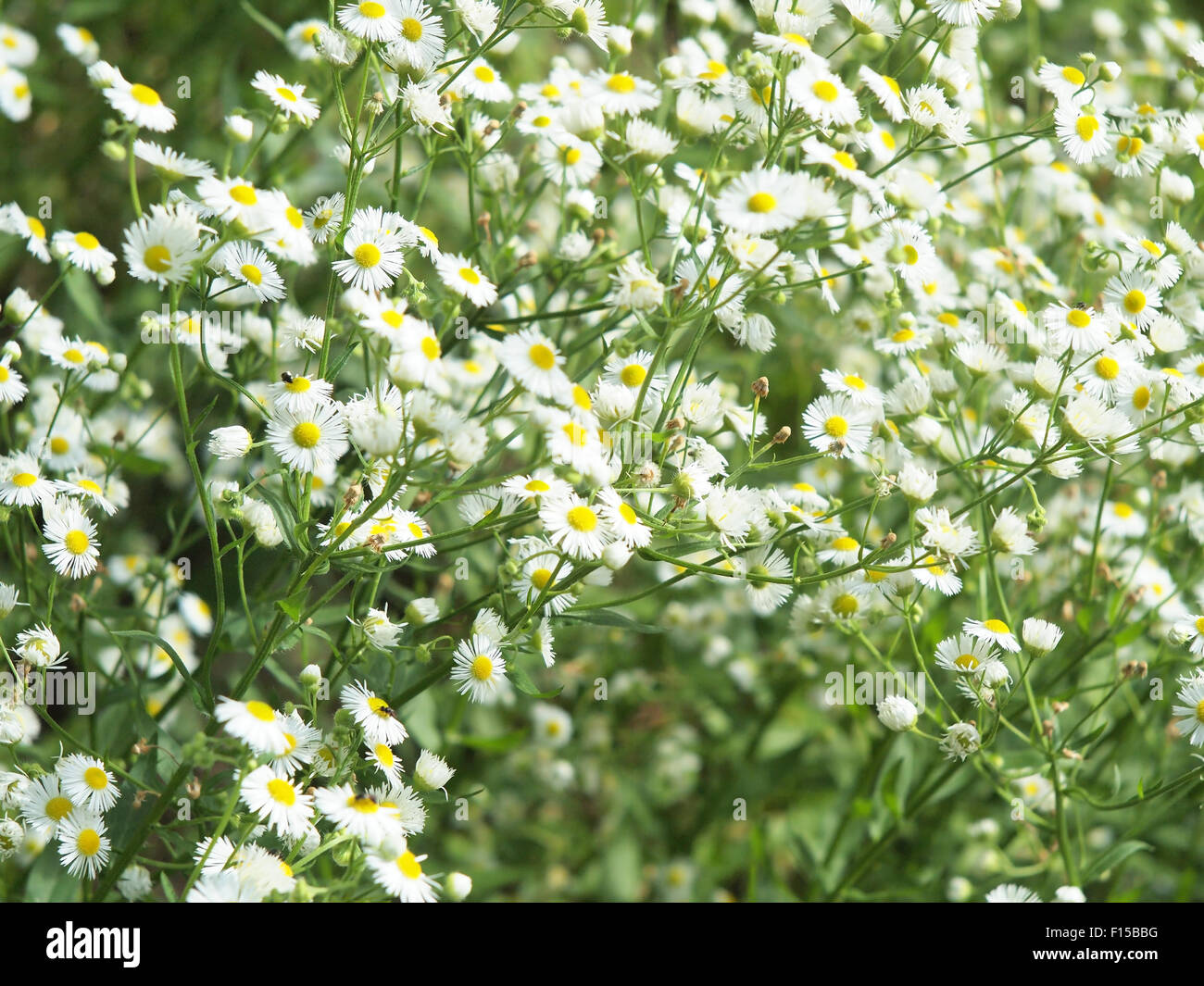 Small White Daisy Flowers Stock Photos Small White Daisy Flowers