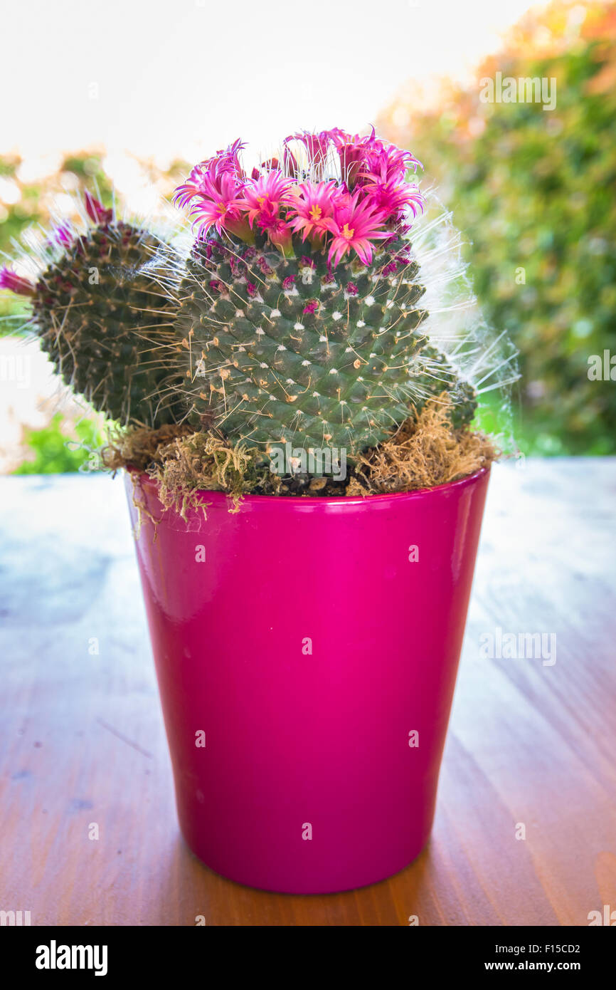 Cactus With Small Pink Flowers In A Vase Fuchsia Stock Photo