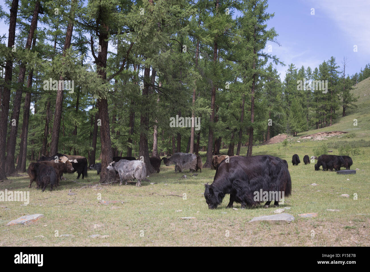 Yaks in northern Mongolia. - Stock Image