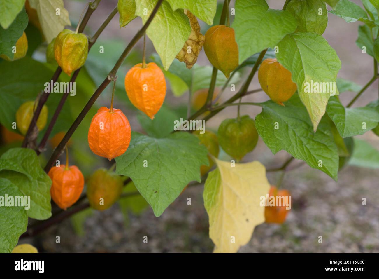 Physalis alkekengi franchetii, Chinese lanterns Stock Photo