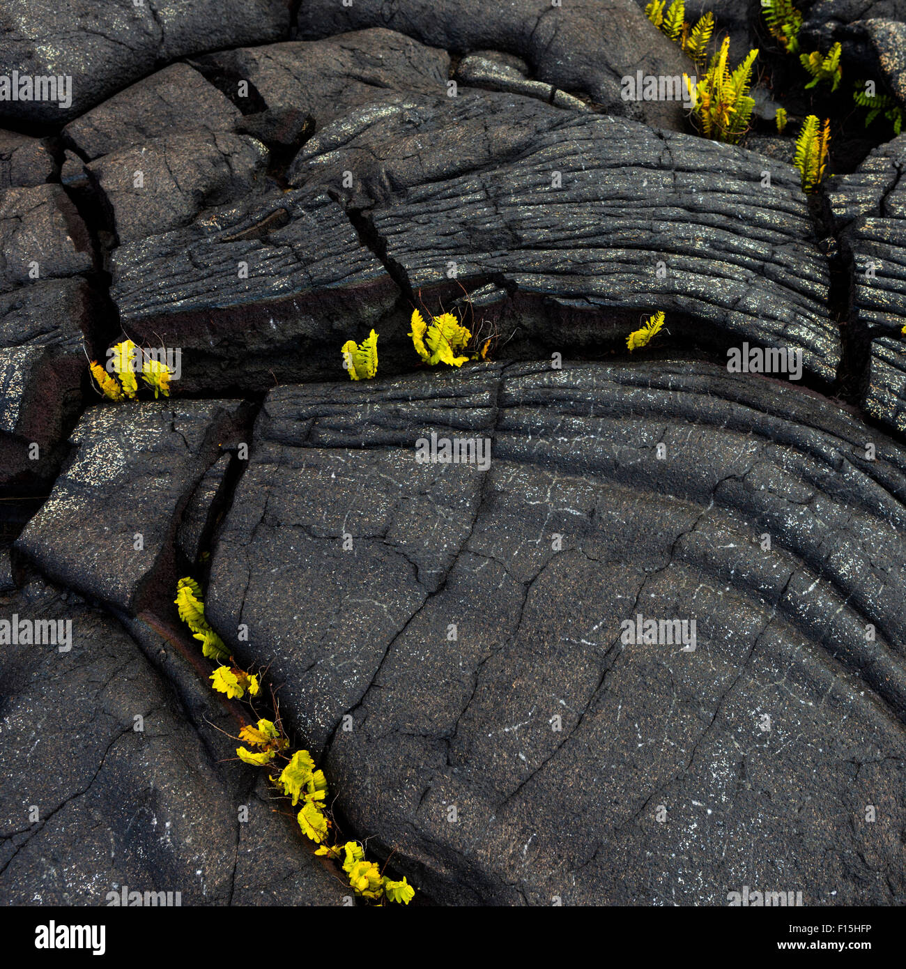 Weathered pahoehoe rope lava with ferns at Alanui Kahiko in Hawaii Volcanoes National Park - Stock Image