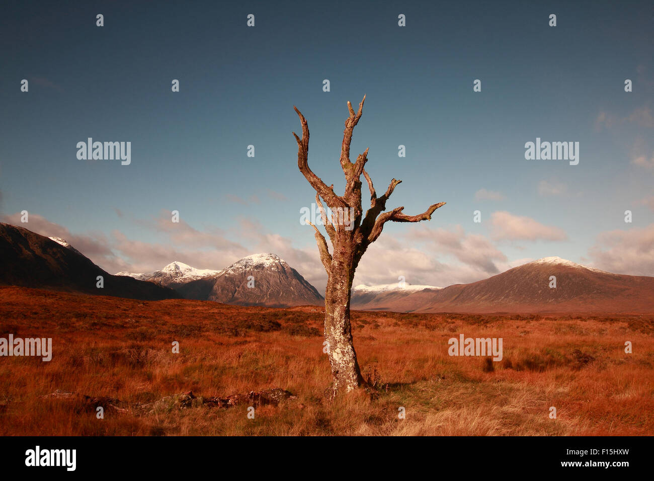 The famous dead tree of Rannoch Moor, Glencoe, Scotland with Buachaille Etive Mor and the Pass of Glencoe in the - Stock Image