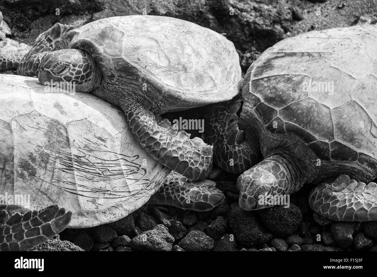 Sea turtles rest in the sun on the beach at Anaehoomalu Bay, Big Island, Hawaii - Stock Image