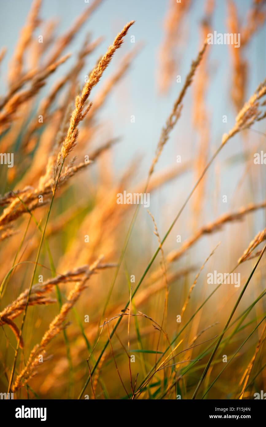 grass in sunlight, low depth of field - Stock Image
