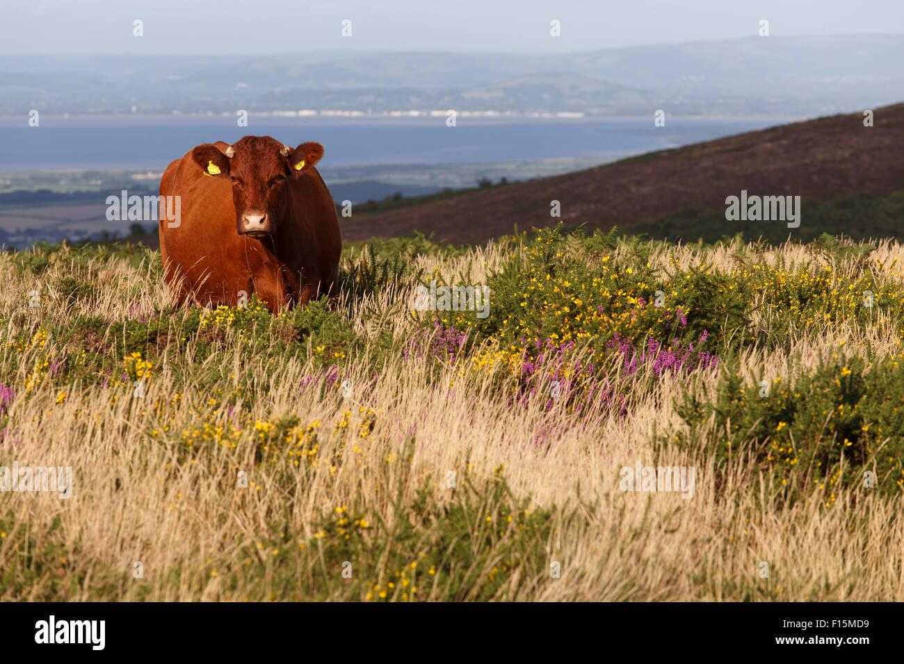 Red Devon cattle grazing, free range, on the Quantock hills. - Stock Image