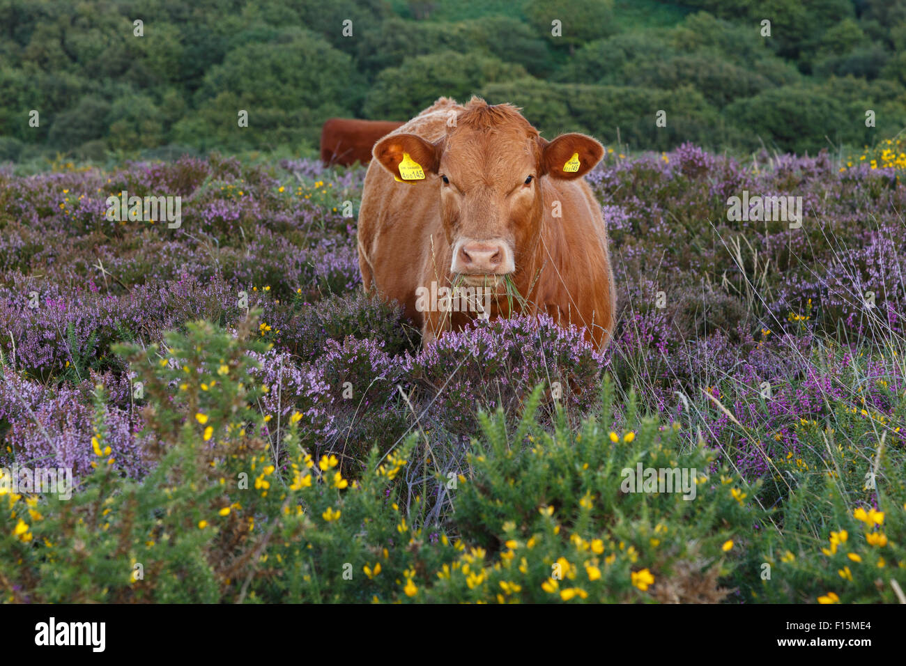 Devon red calf free range on the Quantock Hills, Somerset. Stock Photo