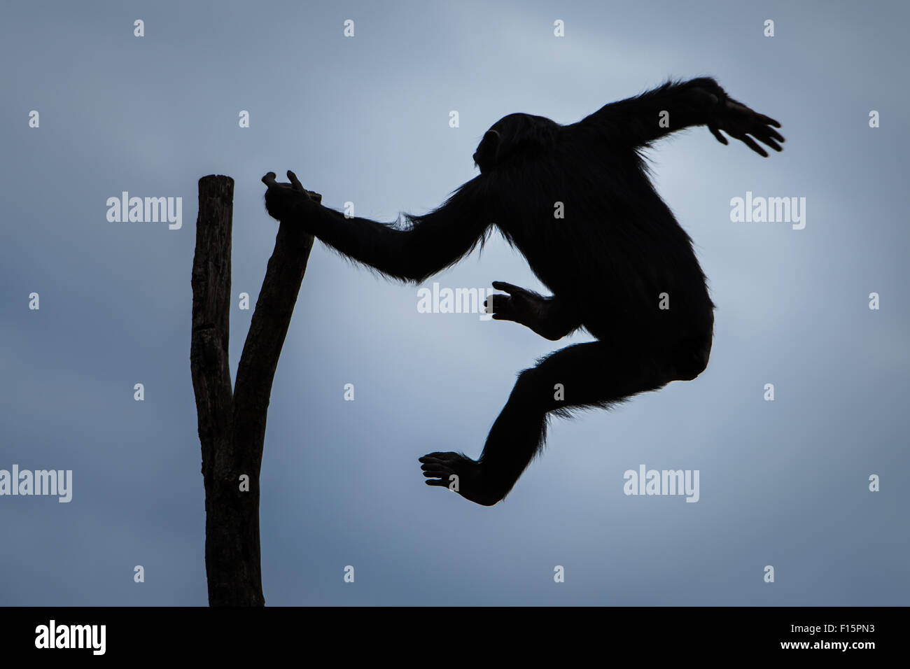 A Silhouette of a Swinging Chimpanzee - Stock Image