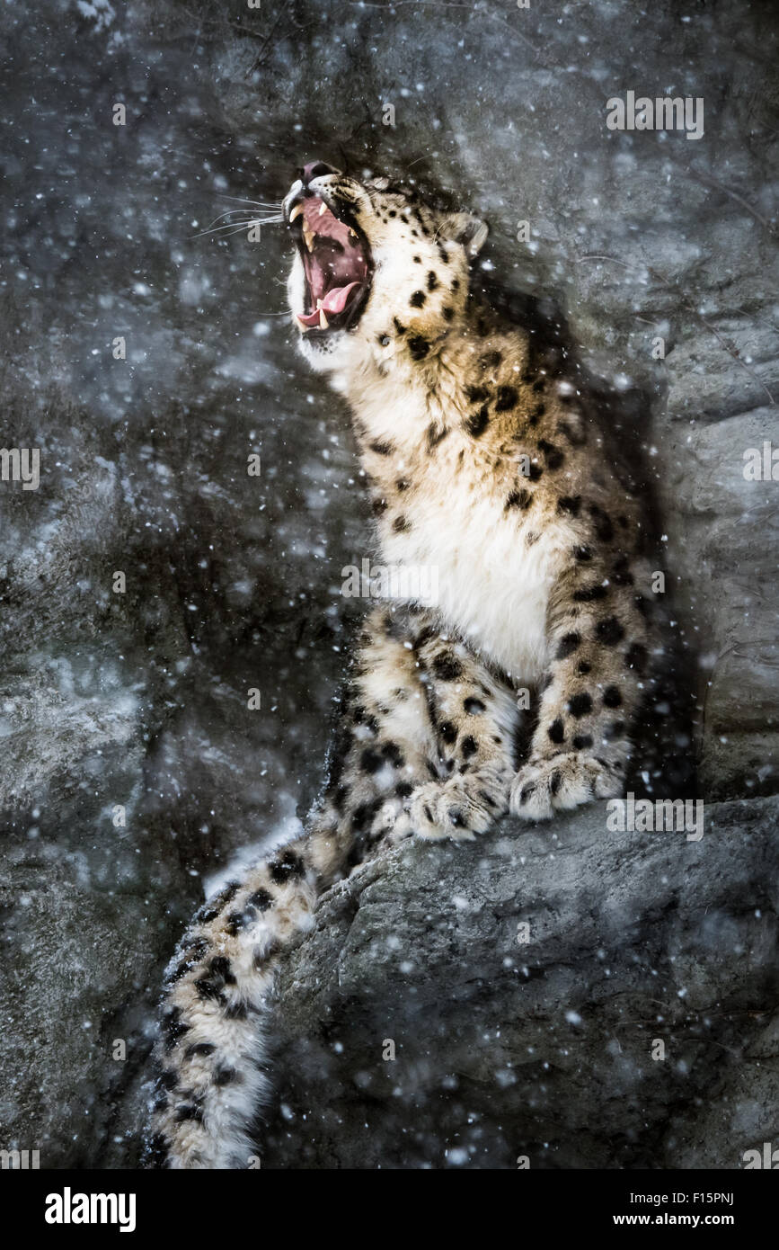 Snow Leopard Perched in a Rock Alcove During a  Snow Storm - Stock Image