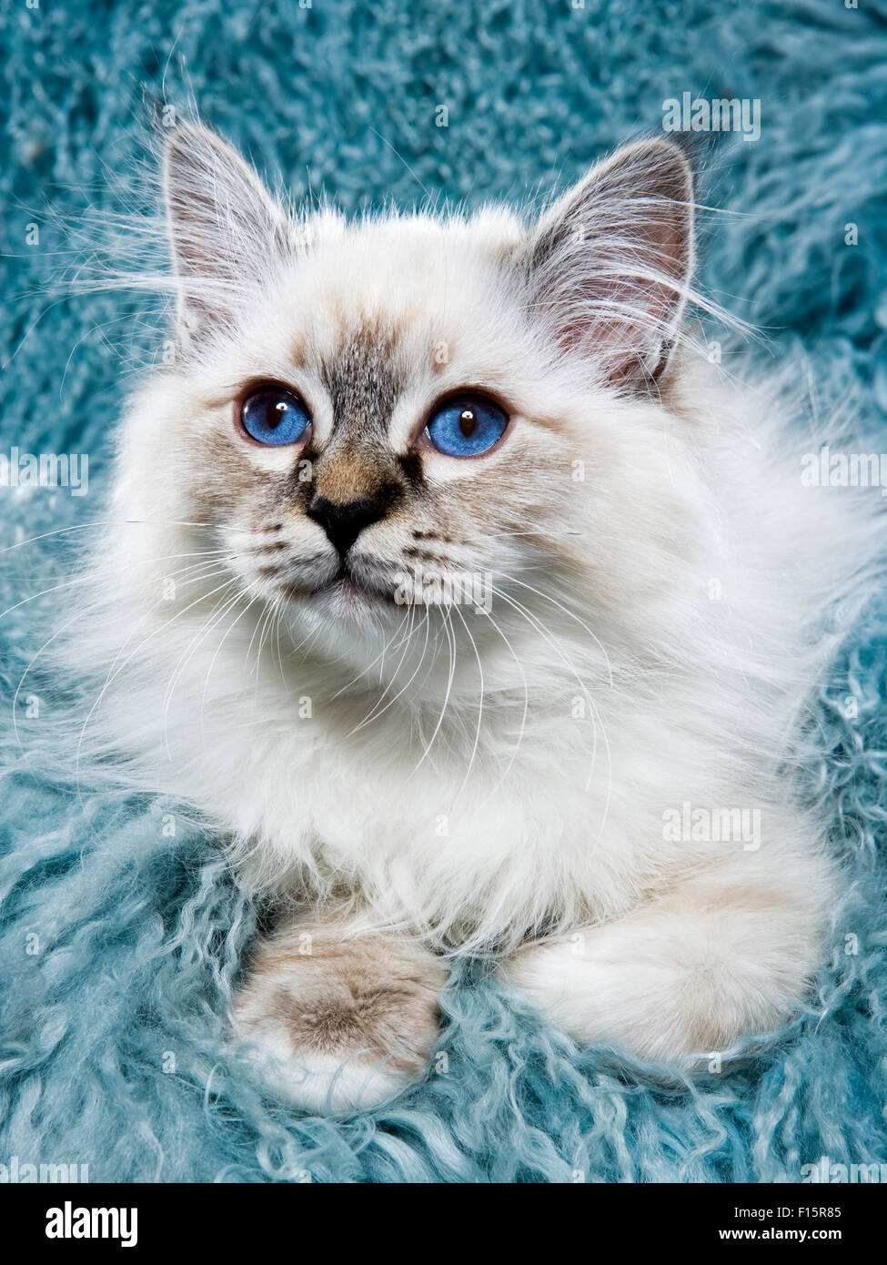 portrait of fluffy white Ragdoll kitten with piercing blue eyes on turquoise long hair textured background Stock Photo