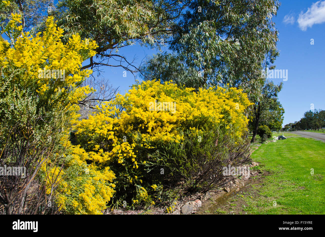Wattle, Australia's National Floral Emblem also representing the National Colours of green and gold. - Stock Image