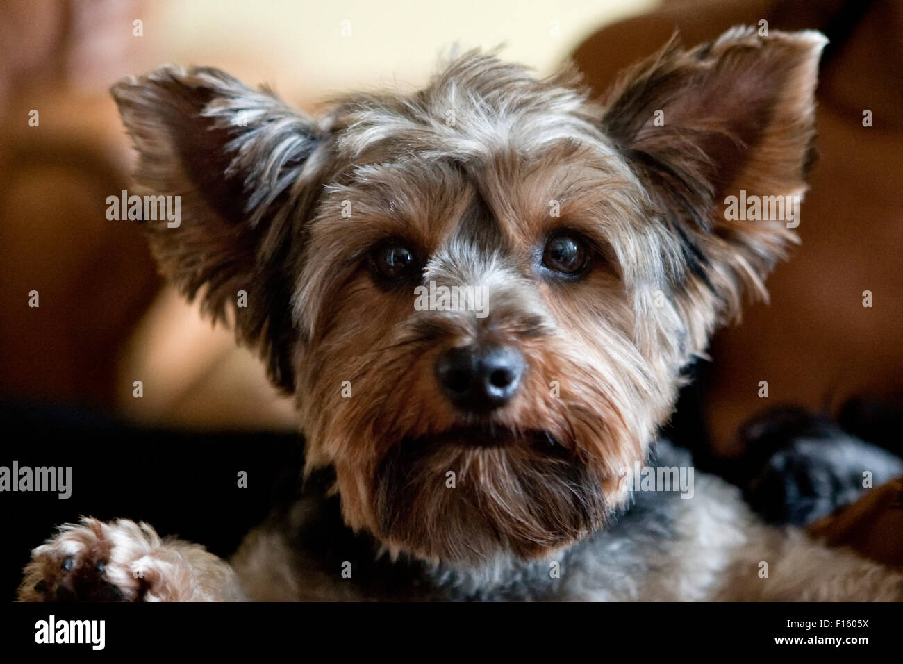 Close Up Headshot Of Adorable Yorkie Dog Terrier With Fresh Hair Cut
